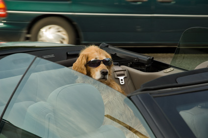 dog in seat