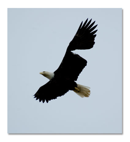 bald eagle
