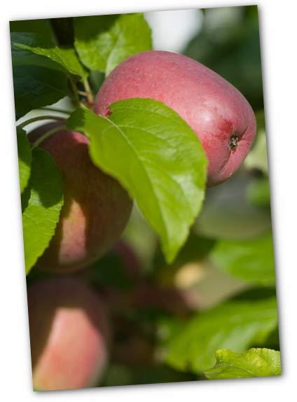 20070905_apples.jpg